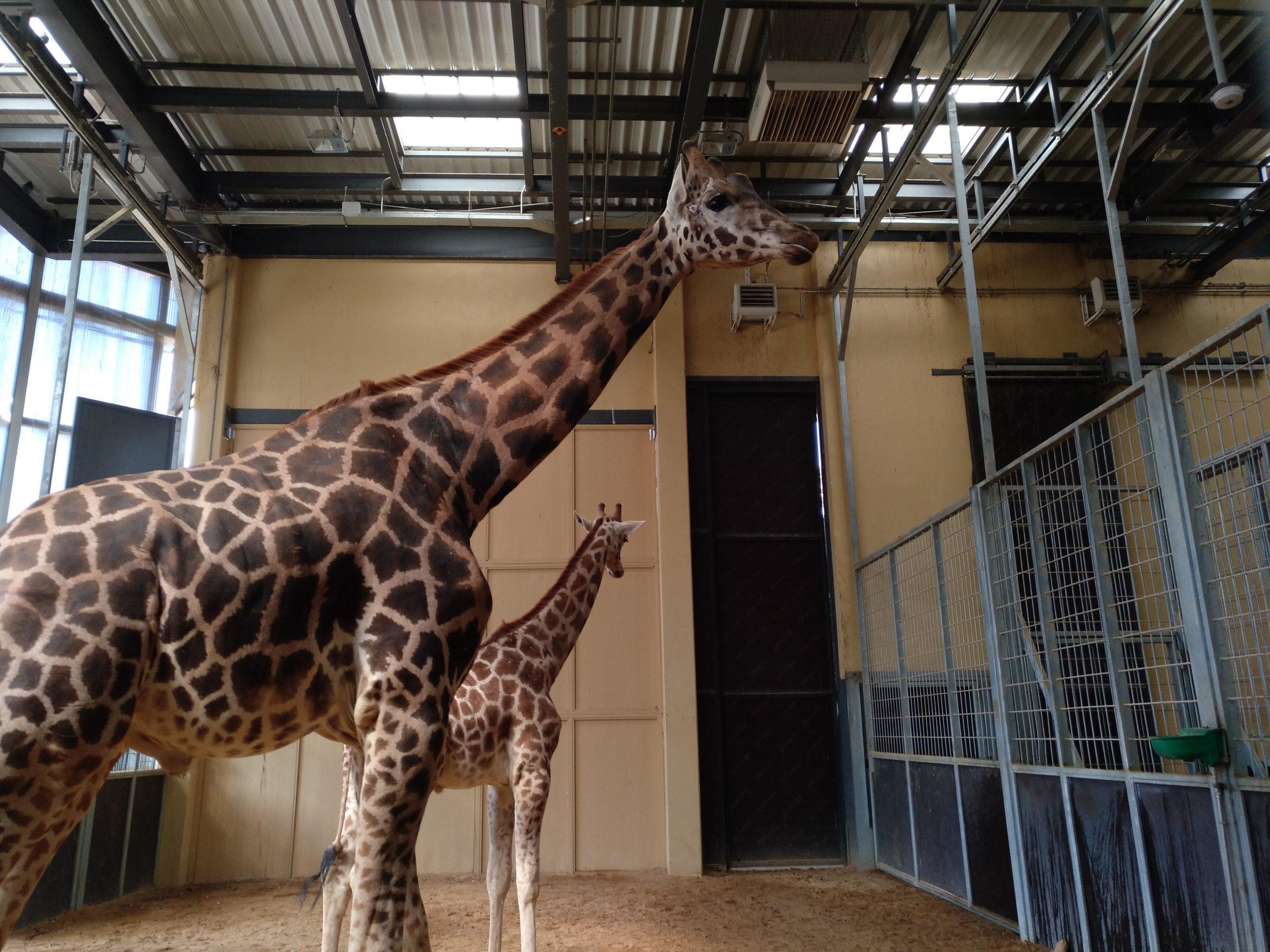 Dues girafes als seus estables del Zoo de Barcelona / Meritxell M. Pauné