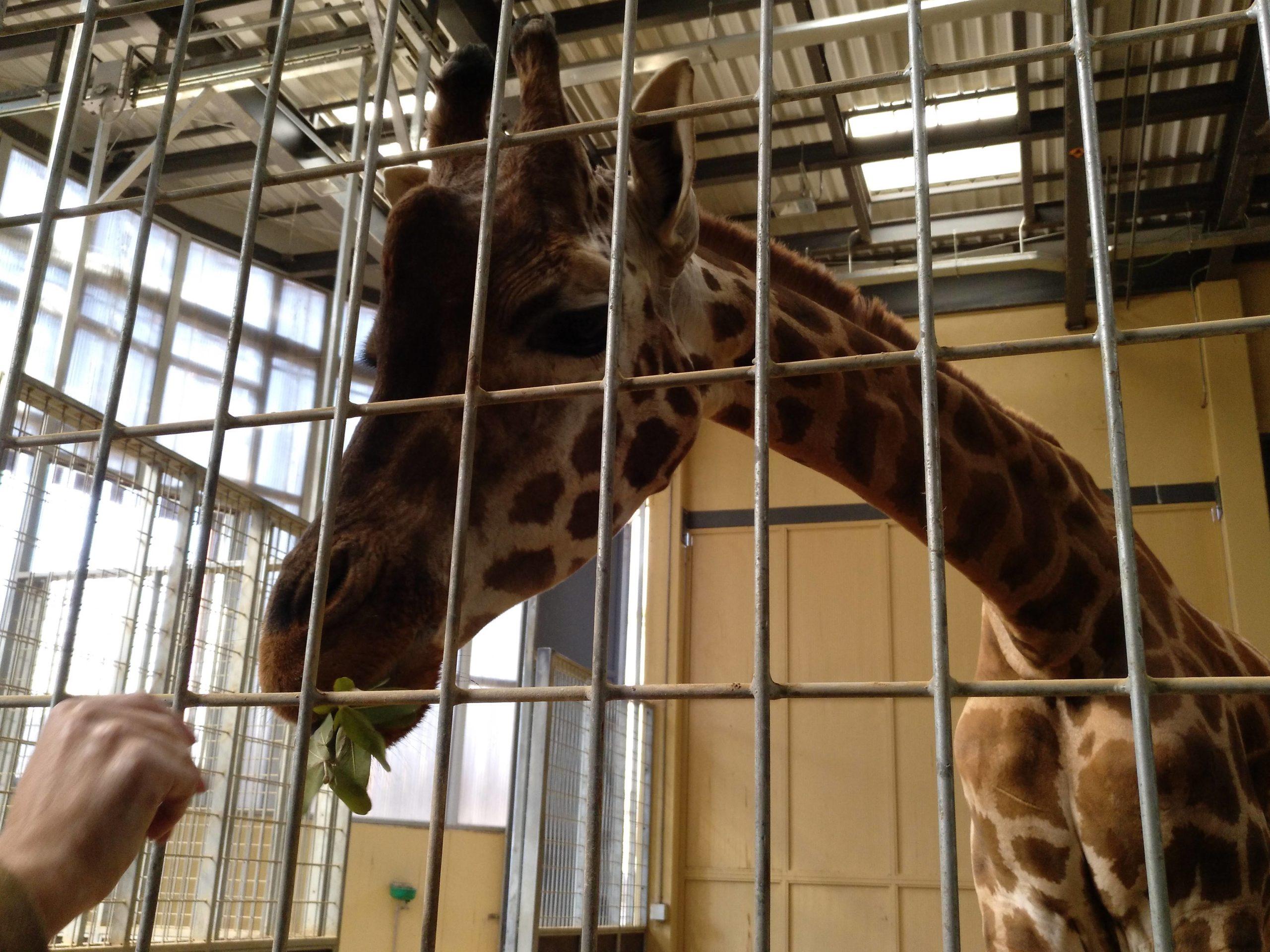 Una de les girafes del Zoo de Barcelona, alimentada per un visitant / Meritxell M. Pauné
